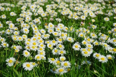 Daisys weed free lawn