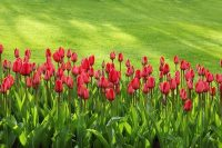 Tulips - A nice lawn no weeds